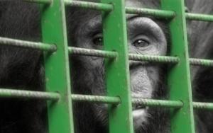 Det er trist med dyr i bur, men hva skal en gjøre da? La de løpe fritt rundt?